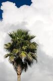 Palma antes da tempestade Imagem de Stock Royalty Free