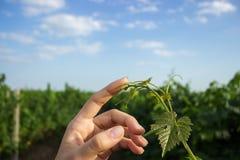 Palma aperta della femmina che raggiunge per un giovane viticcio della barretta dell'uva con le foglie verdi Le mani della ragazz Fotografie Stock