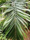 Palma, bella delle foglie tropicali verdi per progettazione differente immagine stock