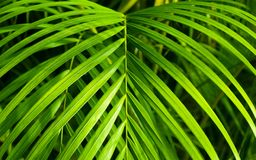 Palma bonita de Neanthe Bella Imagens de Stock Royalty Free