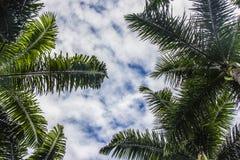 Palma brasiliana fotografia stock