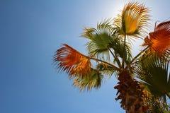 Palma con cielo blu Fotografia Stock