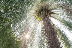 Palma con il sole Immagini Stock