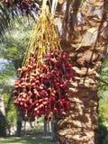 Palma con la frutta Immagine Stock Libera da Diritti