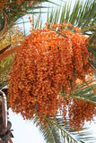 Palma con la frutta Immagini Stock