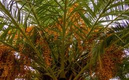 Palma con le date nel giardino fotografia stock libera da diritti