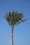 Palma contro chiaro cielo blu Fotografia Stock Libera da Diritti
