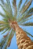 Palma contro il cielo blu Fotografia Stock