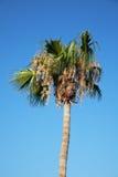 Palma contro un cielo blu Immagini Stock Libere da Diritti