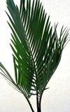 Palma - Cycas Royalty Free Stock Image