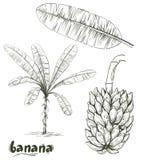 Palma da banana e grupo das bananas no fundo branco ilustração stock