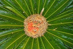 Palma da rainha (circinalis do Cycas) Foto de Stock Royalty Free