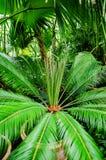 Palma da sago di falsificazione del revoluta- della cycadaceae Immagini Stock Libere da Diritti