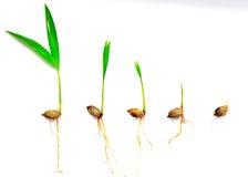Palma da semente Imagem de Stock