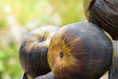 Palma da zucchero, palma di Palmira dell'asiatico, palma cambogiana, palma di Toddy Fotografia Stock