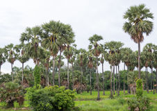 Palma da zucchero in Tailandia Fotografia Stock Libera da Diritti