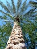 palma daktylowa Obraz Stock