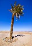 palma daktylowa samotna Zdjęcie Royalty Free