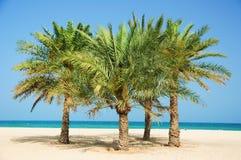 A palma data a árvore Foto de Stock Royalty Free
