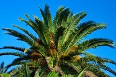 Palma datilera. Fotografía de archivo libre de regalías