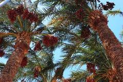 Palma datilera Foto de archivo libre de regalías