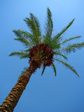 Palma datilera con las frutas maduras debajo del cielo azul fotografía de archivo