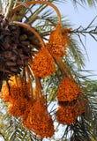 Palma datilera con los manojos de fruta de maduración foto de archivo