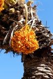 Palma datilera con los manojos de fruta de maduración Fotos de archivo libres de regalías