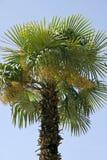 Palma datilera (Phoenix dactylifera) Imagenes de archivo