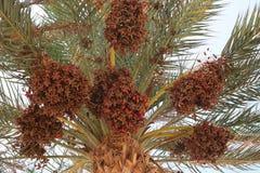 Palma datilera por completo de frutas Imagen de archivo libre de regalías