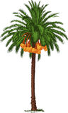 Palma datilera tropical Fotos de archivo