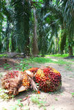 A palma de óleo frutifica na plantação - série 2 imagens de stock