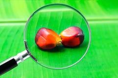 Palma de aceite Imagen de archivo libre de regalías