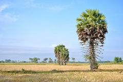 Palma de azúcar Foto de archivo libre de regalías
