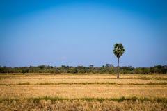 Palma de azúcar con el campo del arroz en el cielo azul Imagen de archivo libre de regalías