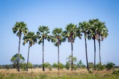 Palma de azúcar con el campo del arroz en el cielo azul Fotografía de archivo