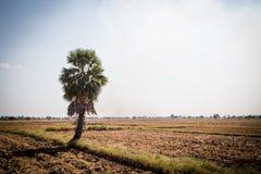 Palma de azúcar con el campo del arroz en el cielo azul Fotografía de archivo libre de regalías