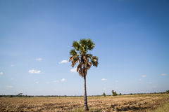 Palma de azúcar con el campo del arroz en el cielo azul Foto de archivo libre de regalías
