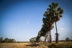 Palma de azúcar con el campo del arroz en el cielo azul Imagenes de archivo
