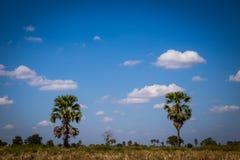 Palma de azúcar con el campo del arroz en el cielo azul Foto de archivo