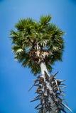 Palma de azúcar con el campo del arroz en el cielo azul Imágenes de archivo libres de regalías