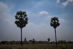 Palma de azúcar con el campo del arroz, pocilga de la silueta Imagen de archivo