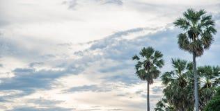 Palma de azúcar con salida del sol Fotografía de archivo