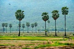 Palma de azúcar en campo del arroz Fotografía de archivo libre de regalías