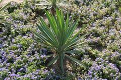 Palma de azúcar en campo de flor fotos de archivo