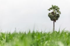 Palma de azúcar en la granja del maíz fotos de archivo