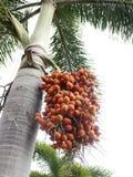 Palma de bétel vermelha na árvore Imagem de Stock Royalty Free