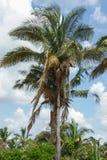 Palma de babacu en Piaui, el Brasil Fotos de archivo libres de regalías