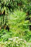 Palma de bambú o palmera de la señora en jardín Imagenes de archivo