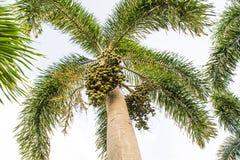 Palma de betel Fotografía de archivo